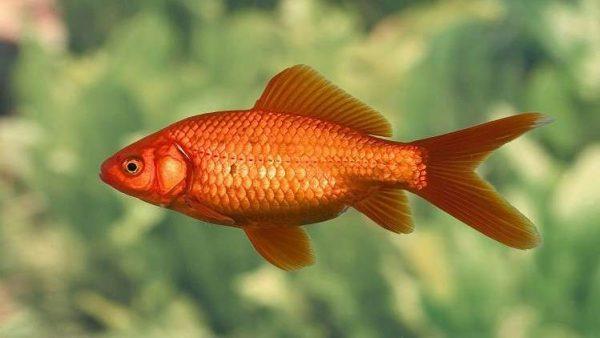 فوائد علاجية غير مسبوقة لحراشف الأسماك