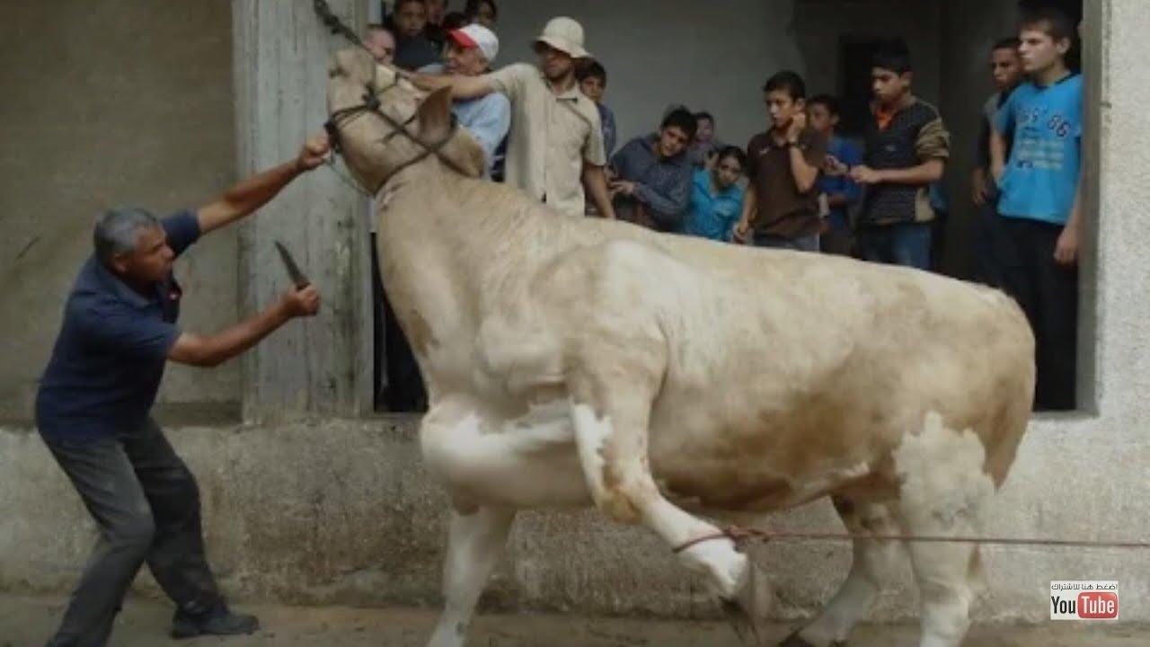 هذا مافعلته البقرة الضاحكة بتاجر وزبون نواحي المحمدية