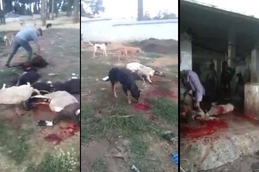 تفكيك عصابة تذبح الكلاب والأبقار المريضة نواحي المحمدية