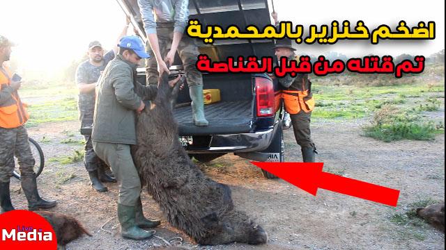 أضحم خنزير تم قتله من قبل القناصة بالمحمدية ..اتناء عملية للاحاشة