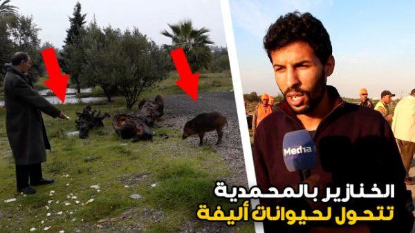 هادي جديدة .. الخنازير بالمحمدية تتحول لحيوانات أليفة  ( فيديو )