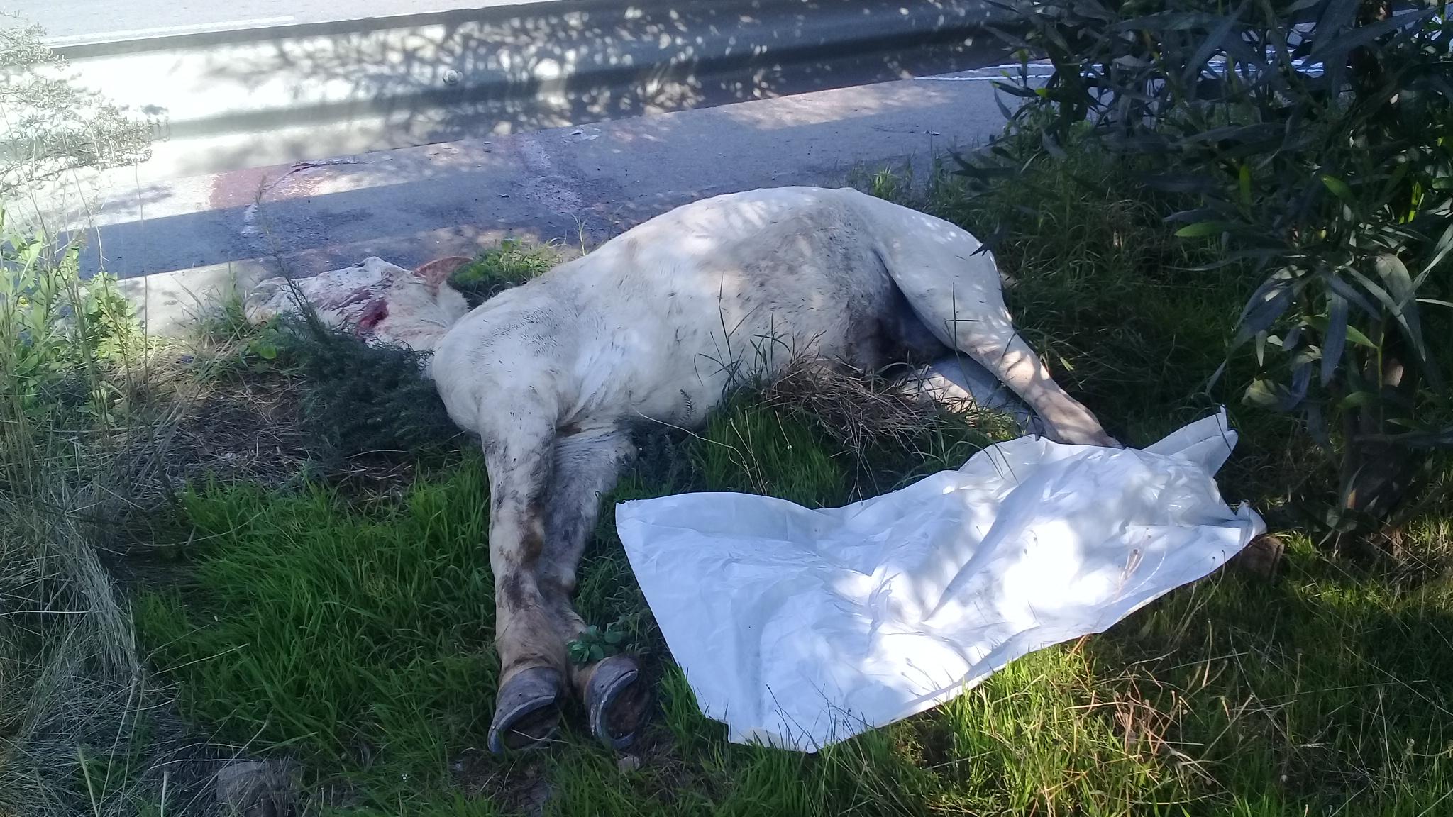 بالصور : حصان ينتحر بالطريق السيار نواحي الدارالبيضاء