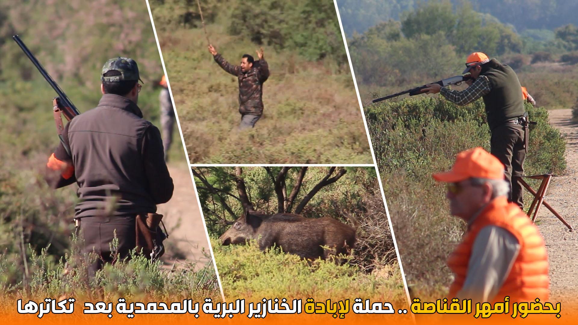 بحضور أمهر القناصة .. حملة لإبادة الخنازير البرية بالمحمدية بعد تكاترها
