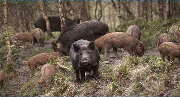 الرباط..كثرة الخنازير تدفع مديرية المياه والغابات للزيادة في قنصها