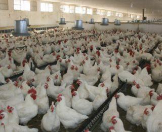 جمعية لمربي الدجاج تدق ناقوس الخطر حول خطر أنفلونزا الطيور