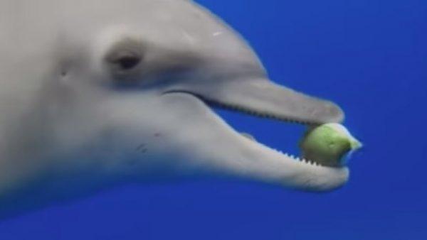 إكتشاف غريب.. الدلافين تتعاطى المخدرات عن طريق السمكة المنتفخة ! (فيديو)
